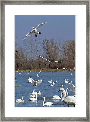 Here Come The Swans Framed Print by Bill Lindsay