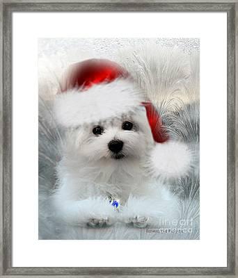 Hermes The Maltese At Christmas Framed Print by Morag Bates