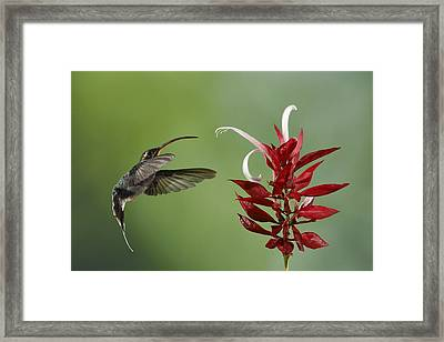 Hermit Hummingbird And Red Flower Framed Print by Juan Carlos Vindas