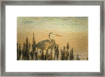 Heron Wading Framed Print by Robert Frederick
