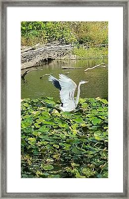 Heron Wings Framed Print by Donna Cook