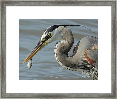 Heron With Injured Shad Framed Print by Robert Frederick