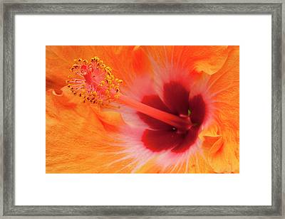 Hibiscus Close-up Framed Print by Andrew Soundarajan