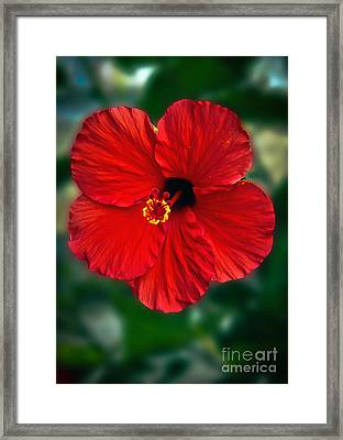 Hibiscus Framed Print by Robert Bales