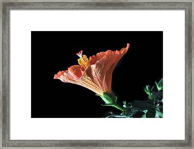 Hibiscus Vein Framed Print by Terence Davis