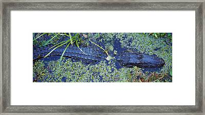 High Angle View Of An Alligator Framed Print by Panoramic Images