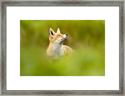 High Hopes - Red Fox Looking Up Framed Print by Roeselien Raimond