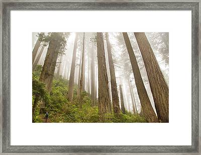 Hike Through The Redwoods Framed Print by Kunal Mehra