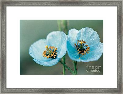 Himalayan Blue Poppy Framed Print by American School