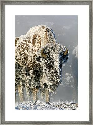 Hoarfrosted Bison In Yellowstone Framed Print by Sandra Bronstein