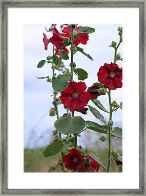Hollyhocks Framed Print by Theresa Campbell