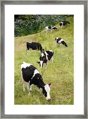 Holstein Cattle Framed Print by Gaspar Avila