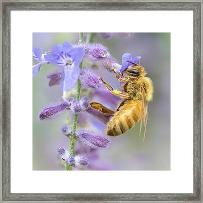Honey Bee 2 Framed Print by Jim Hughes