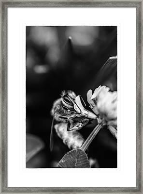 Honey Bee Framed Print by James Bull