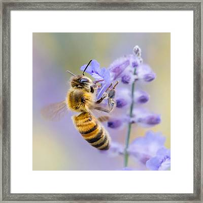 Honey Bee Framed Print by Jim Hughes