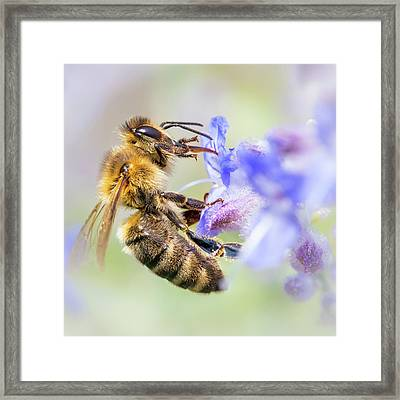 Honey Bee On Russian Sage Framed Print by Jim Hughes