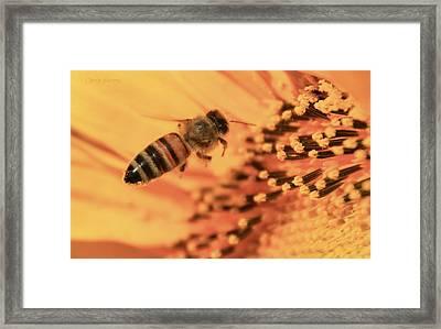 Honeybee And Sunflower Framed Print by Chris Berry