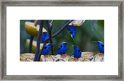 Honeycreeper Framed Print by Betsy Knapp