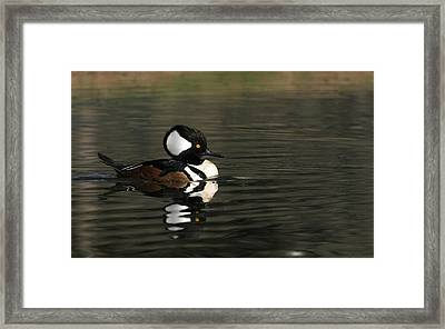 Hooded Merganser Framed Print by Andrew Johnson