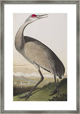 Hooping Crane Framed Print by John James Audubon