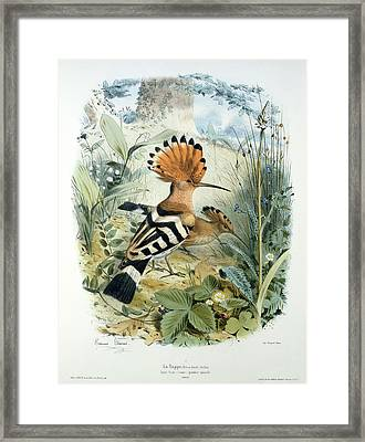 Hoopoe Framed Print by Edouard Travies
