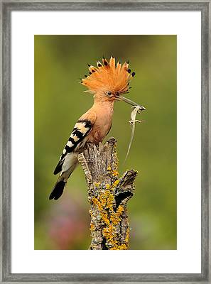 Hoopoe With Lizard Framed Print by Andres Miguel Dominguez