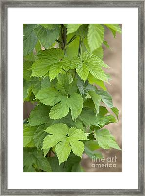 Hop Leaves On Plant Framed Print by Inga Spence