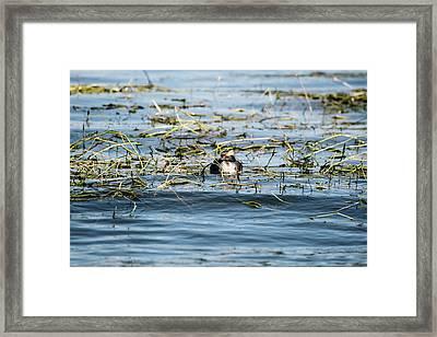 Horned Grebe Framed Print by Scott Pellegrin
