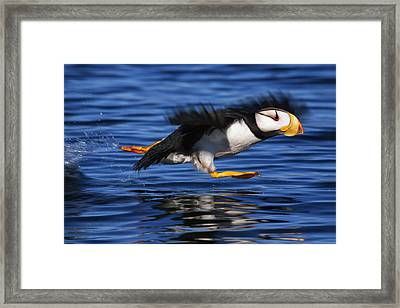 Water Reflections Framed Print featuring the photograph Horned Puffin  Fratercula Corniculata by Marion Owen