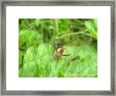 Hornet On Watermelon Framed Print by Angi Nagel