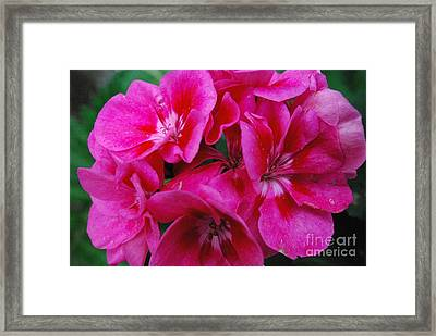 Hot Pink Geranium Framed Print by Sharen Duffing