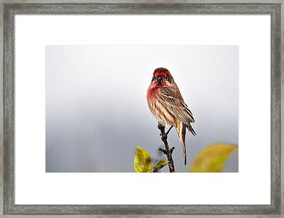 House Finch In Autumn Rain Framed Print by Laura Mountainspring