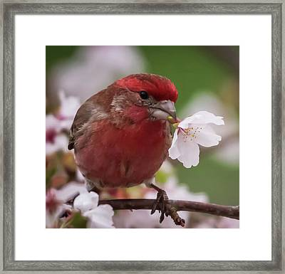 House Finch With Flower Square Framed Print by Terry DeLuco