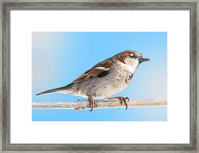 House Sparrow Framed Print by Jim Hughes
