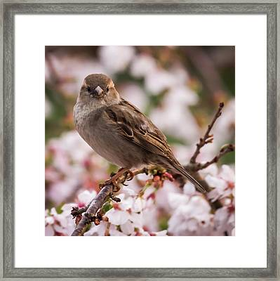 House Sparrow Spring Flowers Framed Print by Terry DeLuco