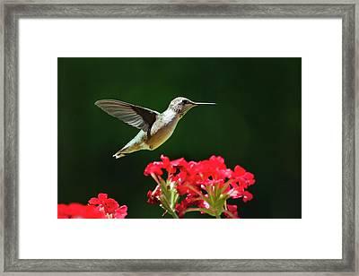Hovering Hummingbird Framed Print by Christina Rollo
