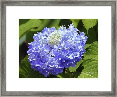 Huge Hydrangea Framed Print by Al Powell Photography USA