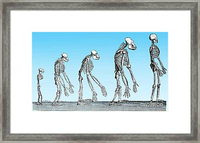 Human Evolution  Framed Print by Science Source