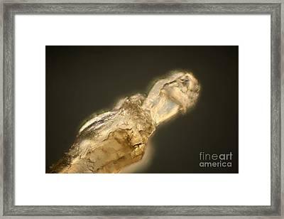 Human Eyebrow Hair Root Framed Print by Ted Kinsman