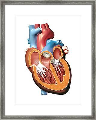 Human Heart Anatomy, Artwork Framed Print by Jose Antonio PeÑas