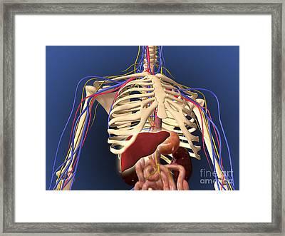 Human Skeleton Showing Digestive System Framed Print by Stocktrek Images