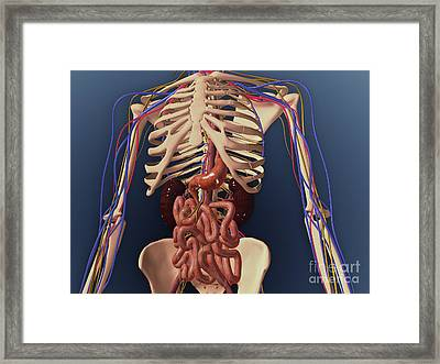 Human Skeleton Showing Kidney, Stomach Framed Print by Stocktrek Images