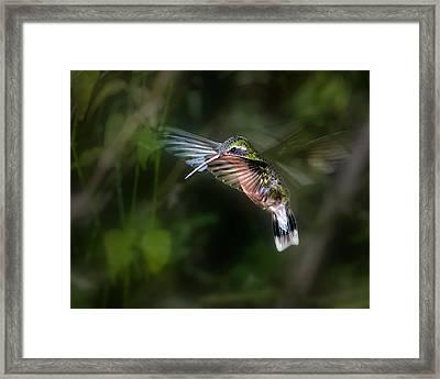 Hummingbird 1b Framed Print by Leigh Pelton