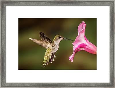 Hummingbird And Hosta Framed Print by Paul Freidlund