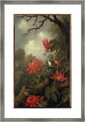 Hummingbird And Passionflowers Framed Print by Martin Johnson