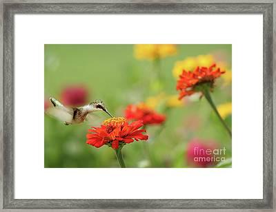 Hummingbird And Zinnias Framed Print by Darren Fisher