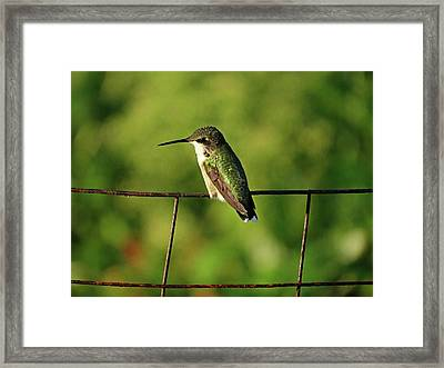 Hummingbird At Rest Framed Print by Dianne Cowen