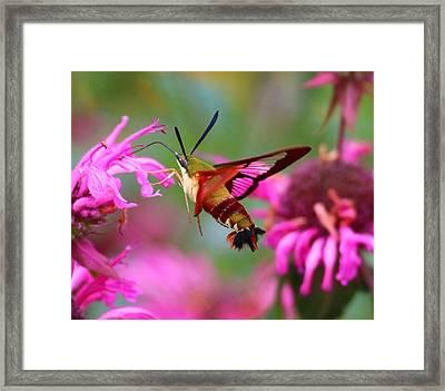 Hummingbird Clearwing Hawk Moth Framed Print by Jose Mendes