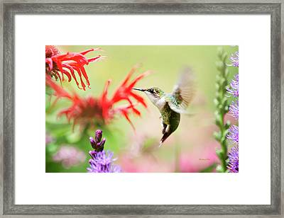 Hummingbird Fancy Framed Print by Christina Rollo