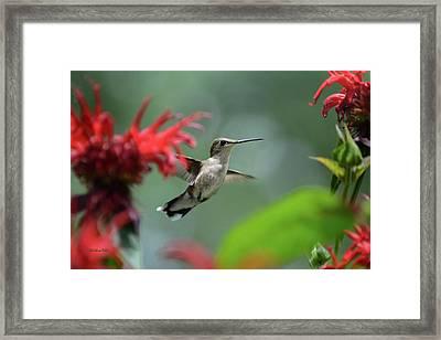 Hummingbird Flying Framed Print by Christina Rollo